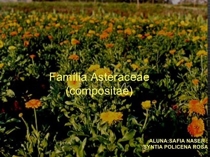 ALUNA:SAFIA NASER ; SYNTIA POLICENA ROSA Família Asteraceae (compositae)