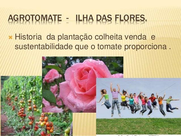 AGROTOMATE - ILHA DAS FLORES.  Historia da plantação colheita venda e sustentabilidade que o tomate proporciona .