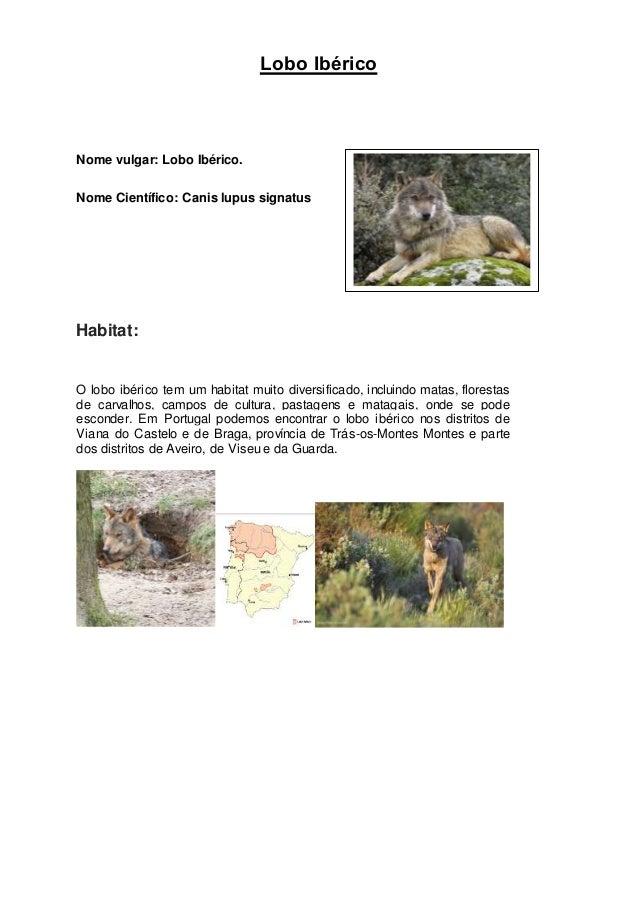 Lobo Ibérico Nome vulgar: Lobo Ibérico. Nome Científico: Canis lupus signatus Habitat: O lobo ibérico tem um habitat muito...