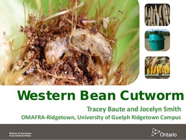 Western Bean Cutworm Tracey Baute and Jocelyn Smith OMAFRA-Ridgetown, University of Guelph Ridgetown Campus