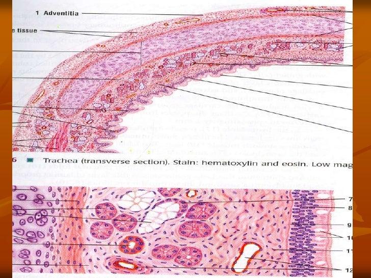 trachea by dr nabila kmsmc sialkot