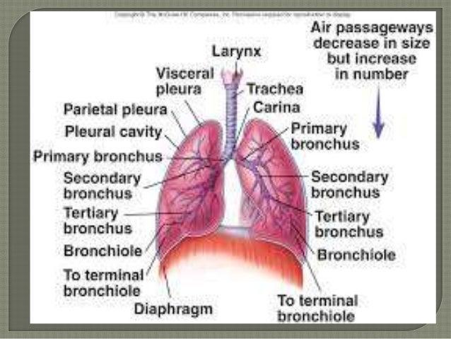 trachea,and bronchi, upper respiratory