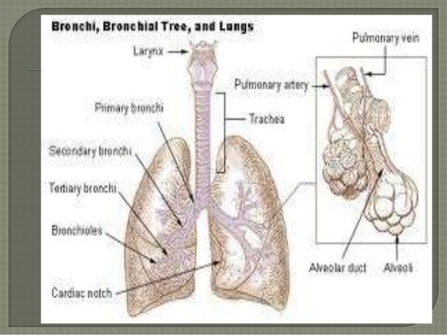 Anatomy of bronchi