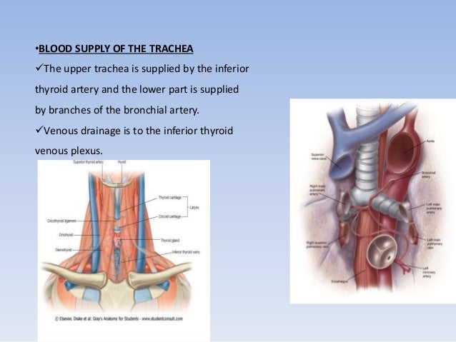 •BLOOD SUPPLY OF THE TRACHEA  The upper trachea is supplied by the inferior  thyroid artery and the lower part is supplie...