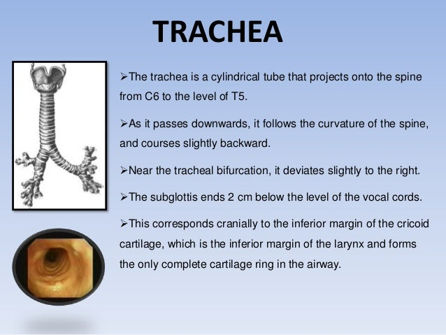 TRACHEA  The trachea is a cylindrical tube that projects onto the spine  from C6 to the level of T5.  As it passes downw...