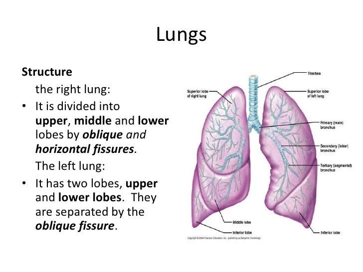 Trachea + Lungs