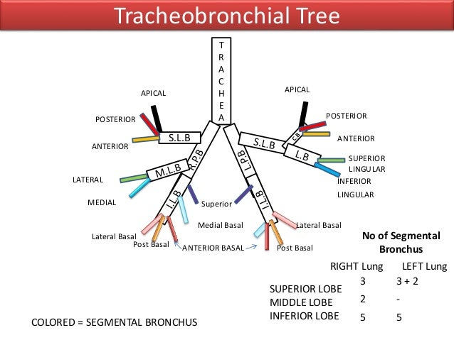 Lung Bronchial Tree Diagram Car Wiring Diagrams Explained