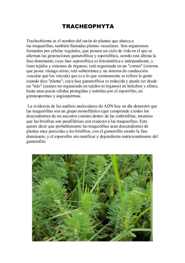 Tracheophyta for Planta ornamental helecho nombre cientifico