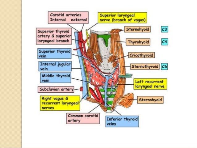  NERVE SUPPLY  Tracheal branches of the vagi.  Recurrent laryngeal nerves.  The sympathetic trunks. RLN – motor fibers...