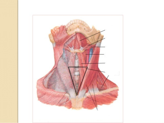 RELATIONS OF THE TRACHEA  Cervical part of trachea  Thoracic part of trachea