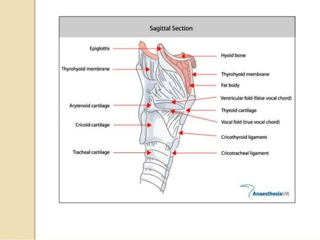  THORACIC PART OF TRACHEA  Anterior Relation:  Manubrium sterni  Origin of sternohyoid & sternothyroid Muscles  Thymi...