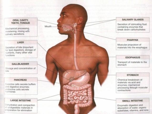 tractus digestivus