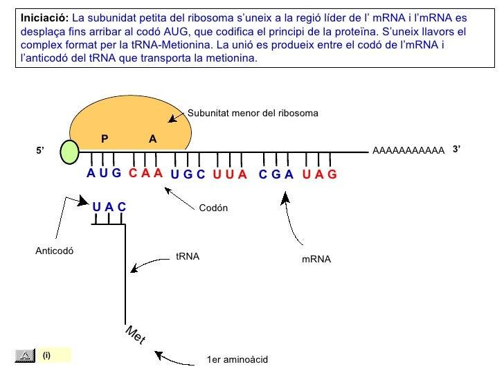 Iniciació: La subunidat petita del ribosoma s'uneix a la regió líder de l' mRNA i l'mRNA esdesplaça fins arribar al codó A...
