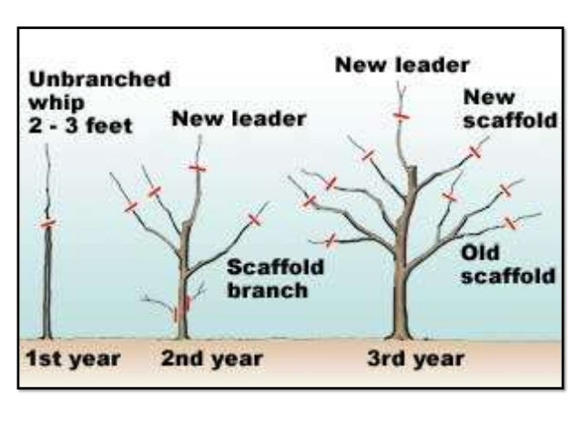 Training And Pruning In Apple