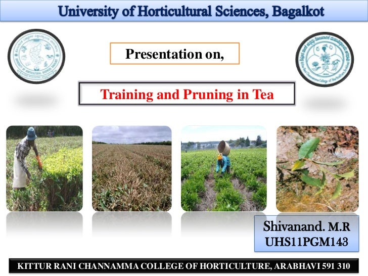 Presentation on,               Training and Pruning in Tea                                              Shivanand. M.R    ...