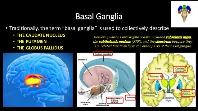 """Basal Ganglia • Traditionally, the term """"basal ganglia"""" is used to collectively describe • THE CAUDATE NUCLEUS • THE PUTAM..."""