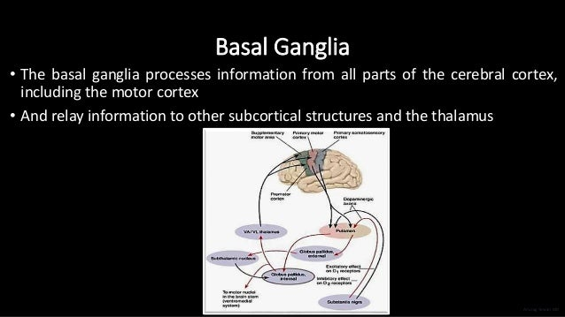 Basal Ganglia • The basal ganglia processes information from all parts of the cerebral cortex, including the motor cortex ...