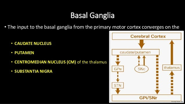 Basal Ganglia • The input to the basal ganglia from the primary motor cortex converges on the • CAUDATE NUCLEUS • PUTAMEN ...