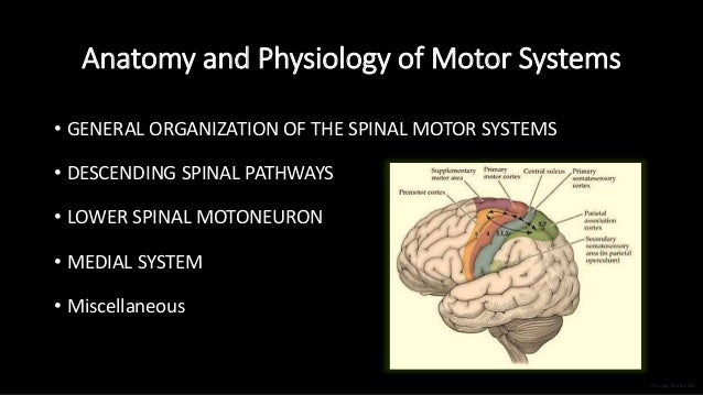 Anatomy and Physiology of Motor Systems • GENERAL ORGANIZATION OF THE SPINAL MOTOR SYSTEMS • DESCENDING SPINAL PATHWAYS • ...