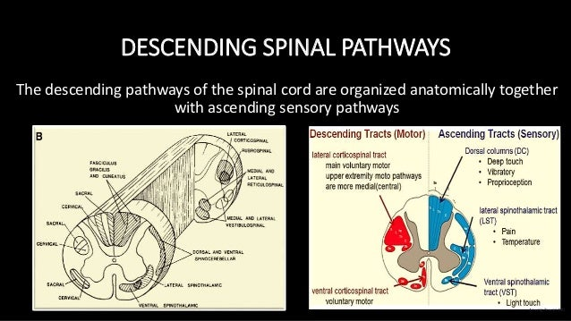 DESCENDING SPINAL PATHWAYS The descending pathways of the spinal cord are organized anatomically together with ascending s...