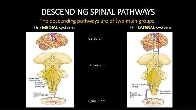 DESCENDING SPINAL PATHWAYS The descending pathways are of two main groups: the MEDIAL systems the LATERAL systems Cerebrum...