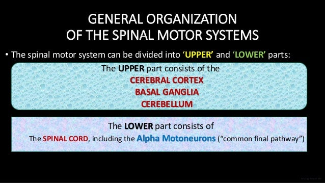 GENERAL ORGANIZATION OF THE SPINAL MOTOR SYSTEMS • The spinal motor system can be divided into 'UPPER' and 'LOWER' parts: ...