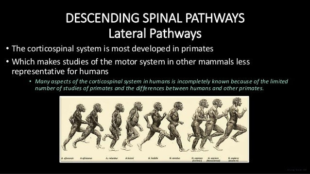 DESCENDING SPINAL PATHWAYS Lateral Pathways • The corticospinal system is most developed in primates • Which makes studies...