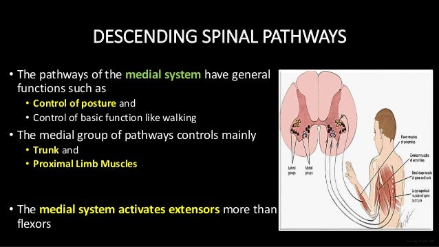 DESCENDING SPINAL PATHWAYS • The pathways of the medial system have general functions such as • Control of posture and • C...
