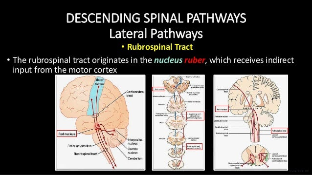DESCENDING SPINAL PATHWAYS Lateral Pathways • Rubrospinal Tract • The rubrospinal tract originates in the nucleus ruber, w...