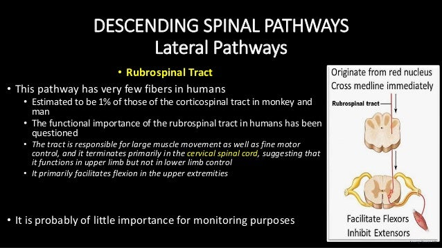 DESCENDING SPINAL PATHWAYS Lateral Pathways • Rubrospinal Tract • This pathway has very few fibers in humans • Estimated t...