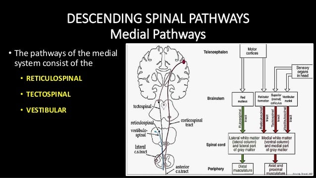 DESCENDING SPINAL PATHWAYS Medial Pathways • The pathways of the medial system consist of the • RETICULOSPINAL • TECTOSPIN...