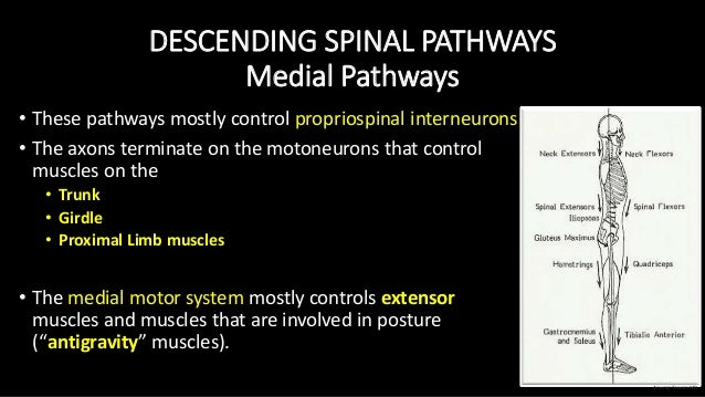 DESCENDING SPINAL PATHWAYS Medial Pathways • These pathways mostly control propriospinal interneurons • The axons terminat...