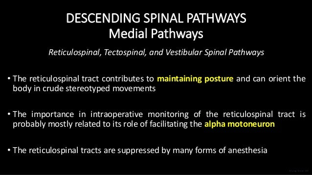DESCENDING SPINAL PATHWAYS Medial Pathways Reticulospinal, Tectospinal, and Vestibular Spinal Pathways • The reticulospina...