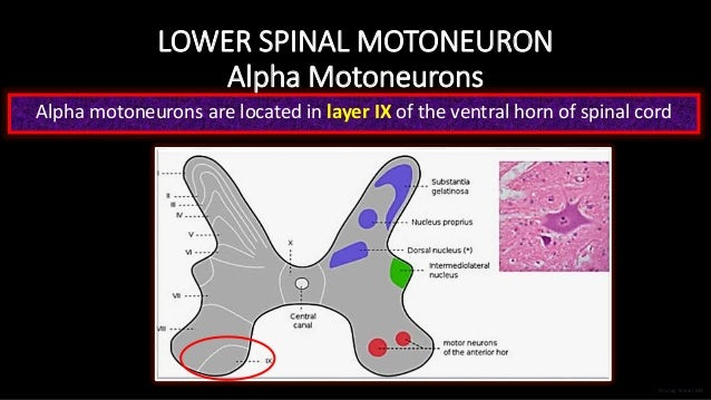 LOWER SPINAL MOTONEURON Alpha Motoneurons Alpha motoneurons are located in layer IX of the ventral horn of spinal cord Anu...