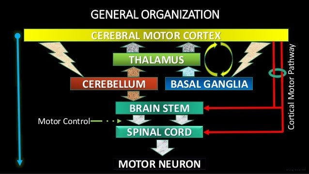 GENERAL ORGANIZATION CEREBRAL MOTOR CORTEX THALAMUS CEREBELLUM BASAL GANGLIA BRAIN STEM SPINAL CORD MOTOR NEURON Motor Con...