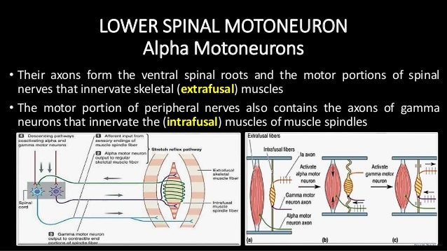 LOWER SPINAL MOTONEURON Alpha Motoneurons • Their axons form the ventral spinal roots and the motor portions of spinal ner...