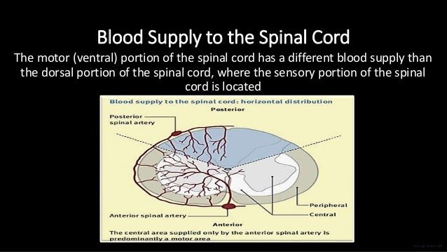 Blood Supply to the Spinal Cord The motor (ventral) portion of the spinal cord has a different blood supply than the dorsa...