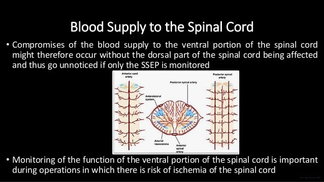 Blood Supply to the Spinal Cord • Compromises of the blood supply to the ventral portion of the spinal cord might therefor...