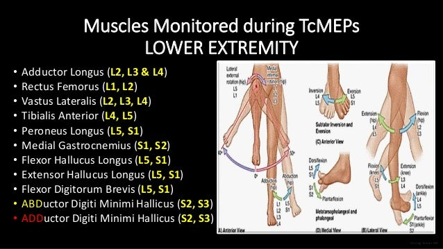 Muscles Monitored during TcMEPs LOWER EXTREMITY • Adductor Longus (L2, L3 & L4) • Rectus Femorus (L1, L2) • Vastus Lateral...