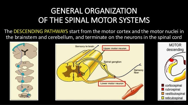 GENERAL ORGANIZATION OF THE SPINAL MOTOR SYSTEMS The DESCENDING PATHWAYS start from the motor cortex and the motor nuclei ...