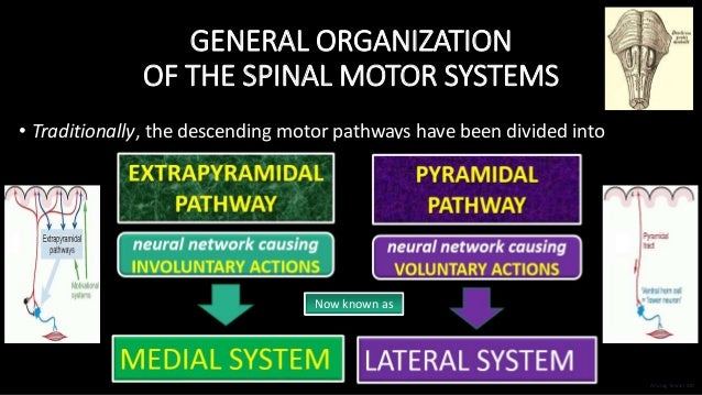 GENERAL ORGANIZATION OF THE SPINAL MOTOR SYSTEMS • Traditionally, the descending motor pathways have been divided into Now...