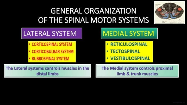 GENERAL ORGANIZATION OF THE SPINAL MOTOR SYSTEMS LATERAL SYSTEM MEDIAL SYSTEM The Lateral systems controls muscles in the ...