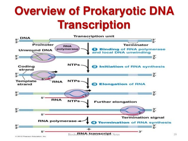 summary of the transcription process Transcription in prokaryotes the promoter in addition to information about the starting point for transcription the transcription process.