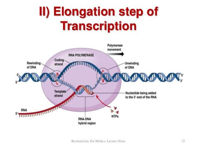 Dna transcription part 1 ribonucleotides 26 27 ccuart Gallery