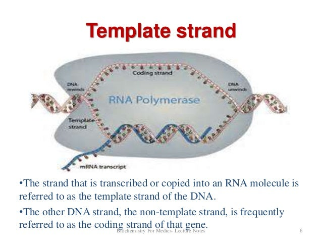 Dna transcription part 1 for What is a template strand