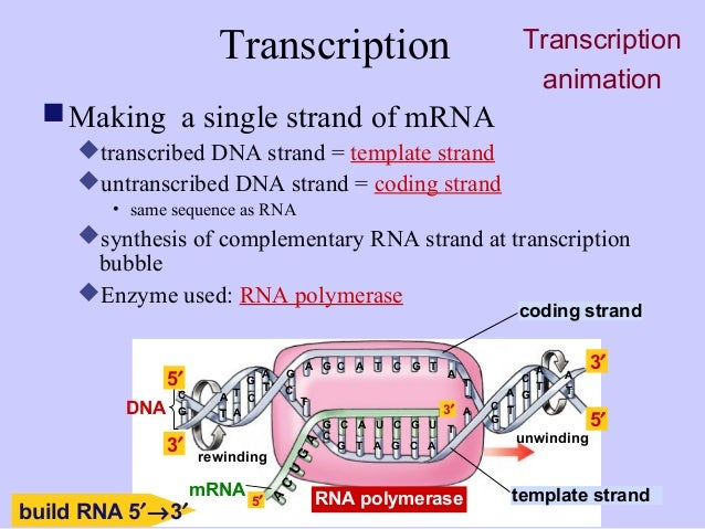 what is a template strand - transcription vs translation related keywords