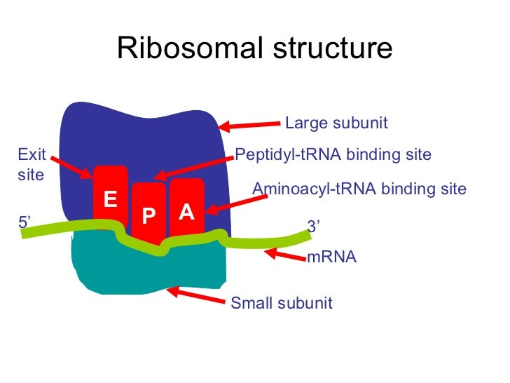 transcription and translation powerpoint 24 728?cb\=1273084320 dna translation diagram ribosome data wiring diagram today