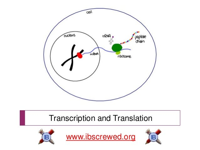 Transcription and Translation www.ibscrewed.org