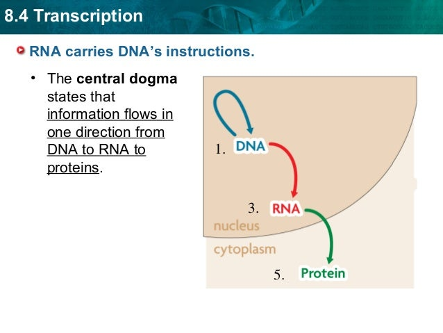 8.4 Transcription RNA carries DNA's instructions. • The central dogma states that information flows in one direction from ...