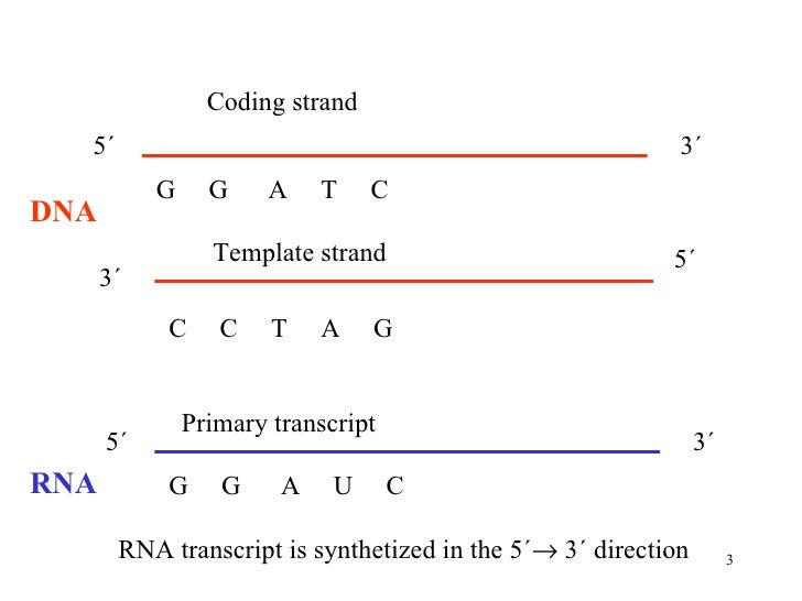 Transcription dna2011 for What is a template strand